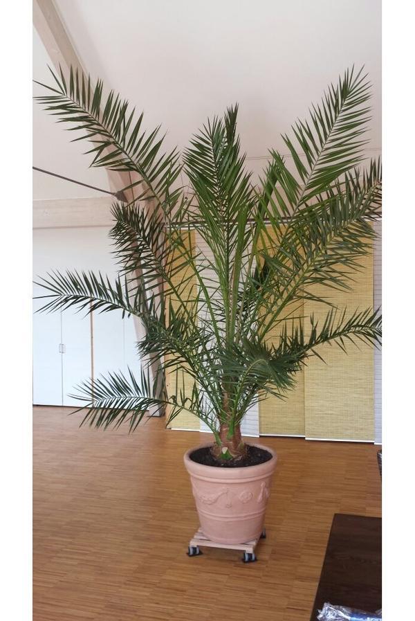 Kanarische Dattelpalme Kaufen : pflanzen b ume str ucher pflanzen garten gebraucht ~ Lizthompson.info Haus und Dekorationen
