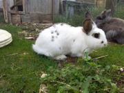 Kaninchen, Hasen, sterilisiert