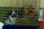Kaninchen Meerschweinchen zu
