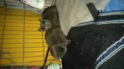 Kartäuser Katzen jung
