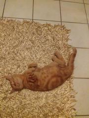 Katzenbabys Perser -Siam