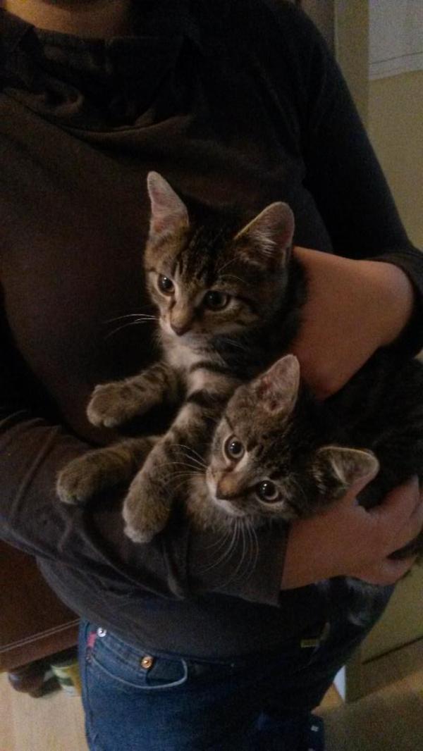 Kleines Tigermädchen zu verschenken! in Großerlach - Katzen kaufen ...