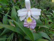 Kopforchidee