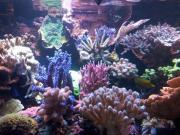 Korallen diverse Ableger