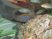 Labidochromis Hongi Red