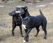 Labrador-Schäferhund-Mischlinge,