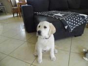 Labrador Welpe mit