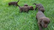 Labradorwelpen suchen ein
