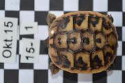 Landschildkrötenbabys von 2016 ,