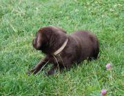 Letzte Labrador Welpe