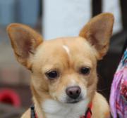 Lola, Chihuahua, geb.