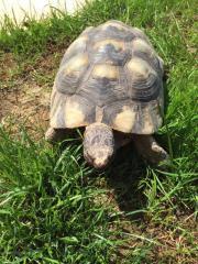Männliche Breitrandschildkröte ( Testudo