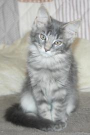 Maine Coon Kitten-