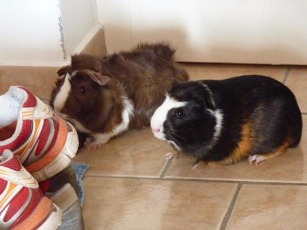 meerschweinchen mit eigenbau und viel zubeh r in gilching. Black Bedroom Furniture Sets. Home Design Ideas