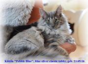 Norw. Waldkatzen-Kitten