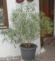 Oleander (Busch) mit