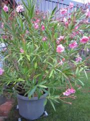 Oleander rosa ca.