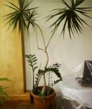 ph nix palmen zwergdattelpalme in berlin pflanzen kaufen und verkaufen ber private. Black Bedroom Furniture Sets. Home Design Ideas