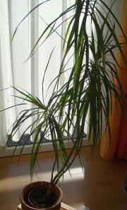 Palme ohne Übertopf