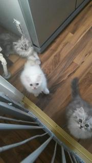 Perser Kätzchen zum