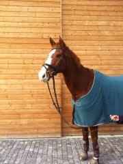 Pferd: Warmblut - Wallach -