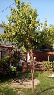Pfirsichbaum in voller