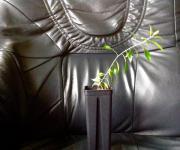 Pflanze/Strauch: Callestimenon