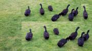 Pommernenten schwarz Bruteier