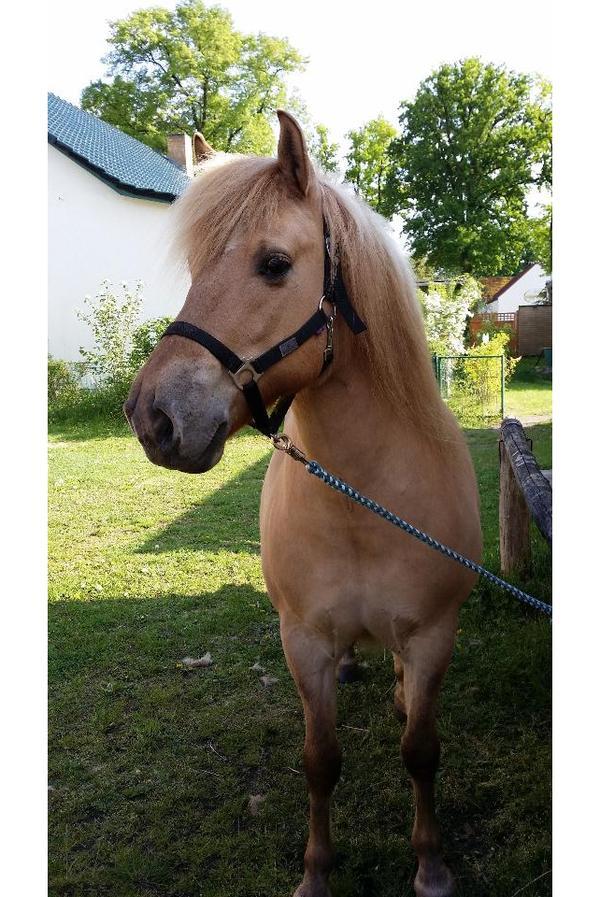 pony mix zu verkaufen in lichtenow pferde kaufen und. Black Bedroom Furniture Sets. Home Design Ideas