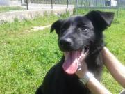 Postiga, bildhübscher Labrador