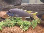 Pseudotropheus acei ,Blauer
