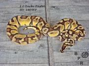 Python Regius # 1.