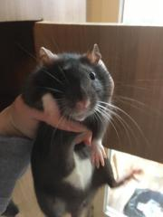 Rattenweibchen