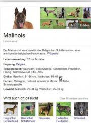 Reinrassige Malinois- Welpen