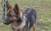 Rex, Schäferhund, ca.