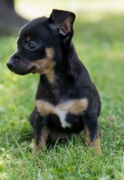 Russische Toy Terrier /