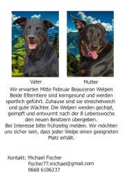 Schäferhund Welpen Beauceron