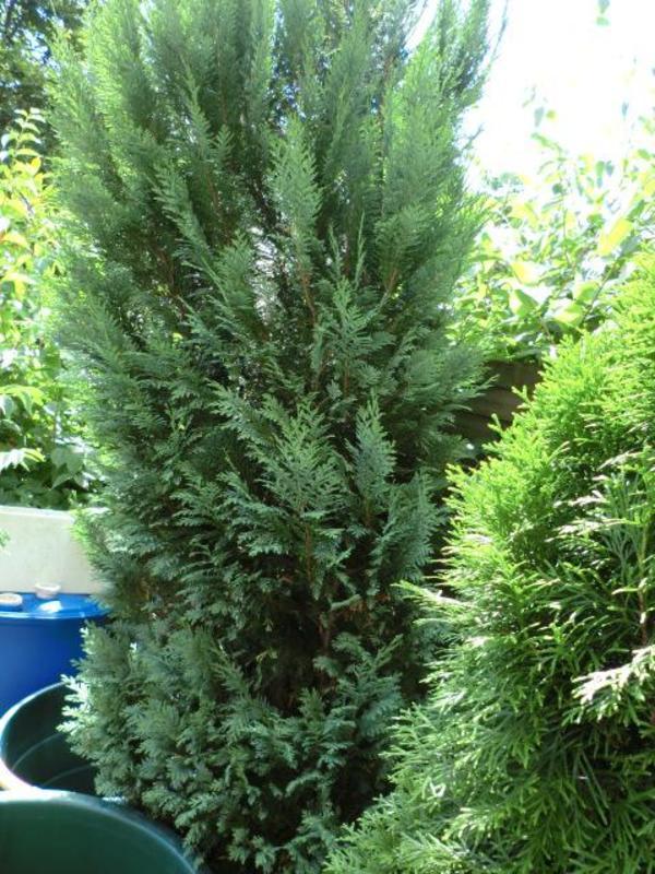 scheinzypresse chamaecyparis 250cm blau in hamburg pflanzen kaufen und verkaufen ber private. Black Bedroom Furniture Sets. Home Design Ideas