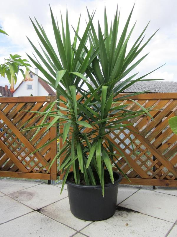sch ne kr ftige yuccapalme in herxheim pflanzen kaufen und verkaufen ber private kleinanzeigen. Black Bedroom Furniture Sets. Home Design Ideas