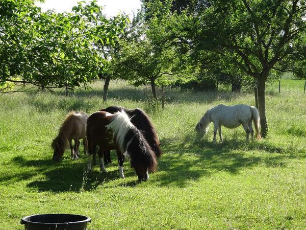 shetlandponys zu verkaufen in freckenfeld pferde kaufen. Black Bedroom Furniture Sets. Home Design Ideas