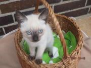 Siam - Kitten 11