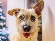 STEFFI, Terrier Mischling -