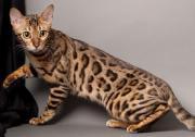 SUCHE Bengal Kitten