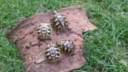 süsse griechische Landschildkröten