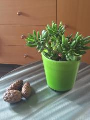 Sukkulenten Crassula Pflanze