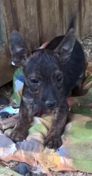 Terrier mix Welpen