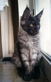 Tolle Maine Coon