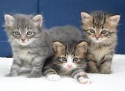 Verschmuste Sibirische Katzenkinder