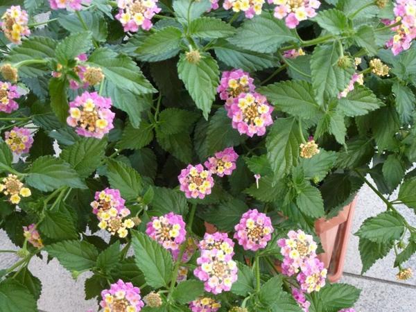 wandelr schen busch rosa ca 85 cm hoch in leimen pflanzen kaufen und verkaufen ber private. Black Bedroom Furniture Sets. Home Design Ideas