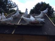 Weisse Tauben abzugeben